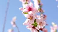 Cherry tree blossoms video