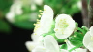 Cherry tree flowers blooming HD video