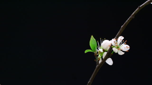 Cherry tree flowers blooming on branch HD video