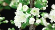 Cherry tree flowers bunch blooming HD video
