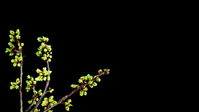 Cherry Tree flowers video