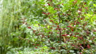 Cherry tree grows in the home garden. video