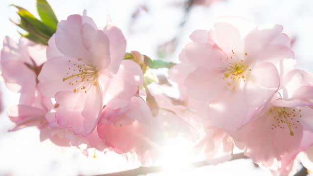 Cherry tree in bloom in spingtime illuminated by sunlight video