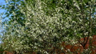 Cherry tree timelapse video
