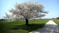 cherry tree with blossom video