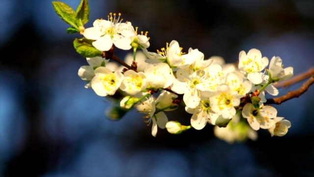 Cherry twig of white blossom trusses with yellow stamens and new tiny green leaves, waving in the spring wind on very blur blue background. video