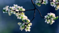 Cherry twig with white blossom trusses and new tiny green leaves, waving in the spring wind on blur blue background. video