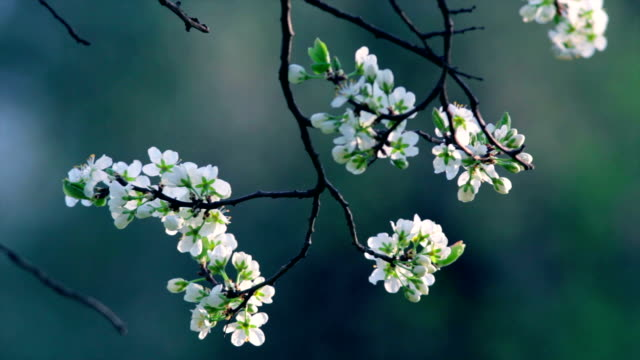 Cherry twig with white blossom trusses and new tiny green leaves, waving in the spring wind on very blur background. video