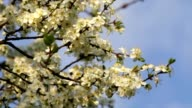 Cherry white blossom with yellow stamens and new tiny green leaves, trembling in the spring light wind on blue sky background. video