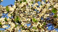 Cherry white blossom with yellow stamens and new tiny green leaves, trembling in the spring wind on blue sky background. video
