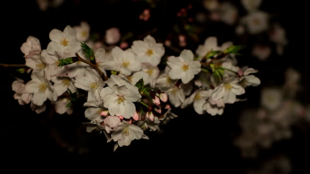 Cherry with bud at night close up shallow focus at Inokashira park video