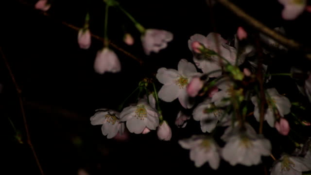Cherry with buds night ver close up at Inokashira park video