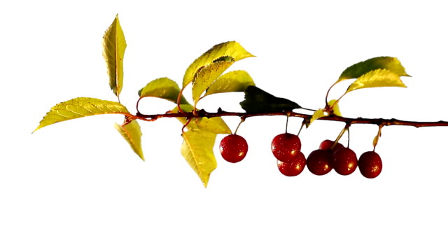 Cherry-tree. Closeup. video