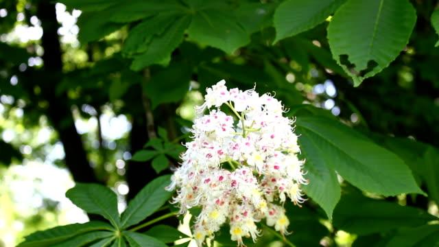 Chestnut flower. video