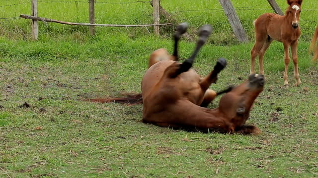 Chestnut horse rolling in the sand at the field video
