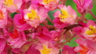 Chestnut Tree In Bloom video