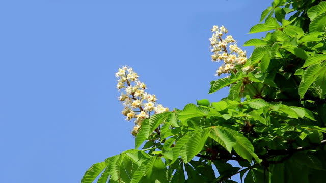 Chestnut tree in spring video