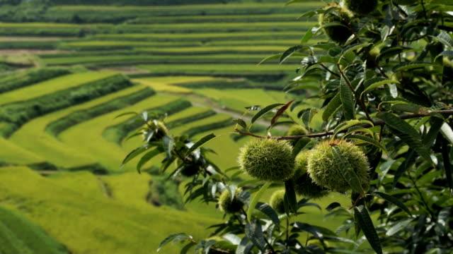 Chestnut tree & Terraced rice fields video
