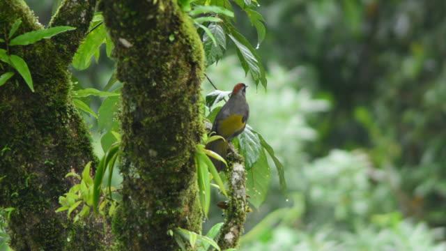 Chestnut-crowned Laughingthrush bird video