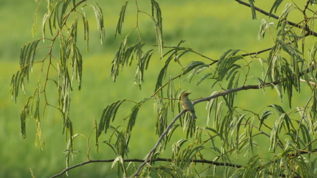 Chestnut-headed Bee-eater resting on the  tree video