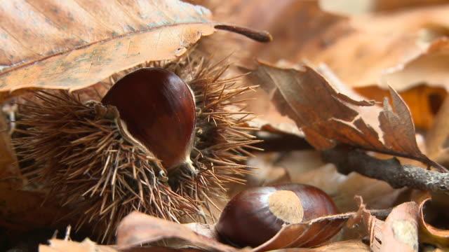 HD: Chestnuts in autumn video