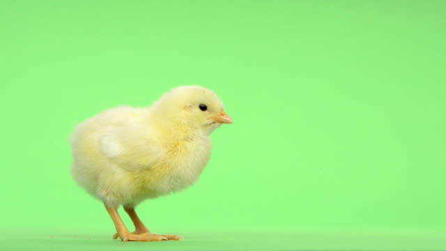 Chick standing and chirping in front of a green key video
