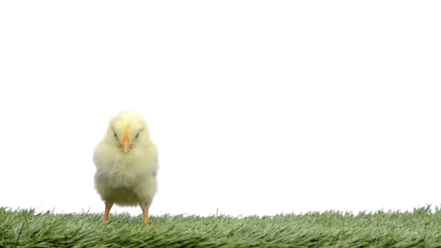 Chick standing in grass and falling asleep video