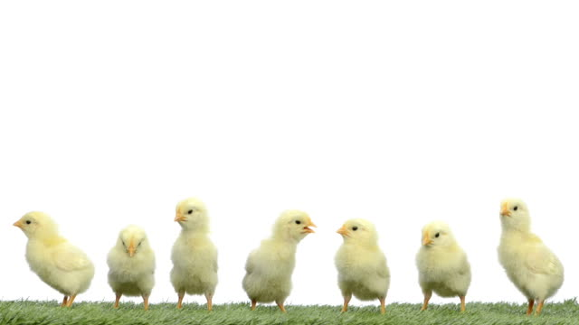 Chick standing on grass video