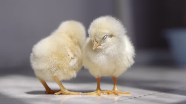 Chick video