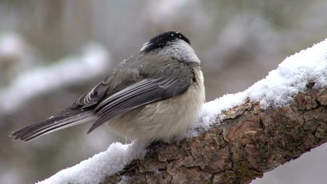 Chickadee On Branch video