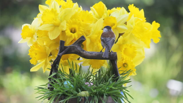 chickadee with Easter eggs and daffodils video