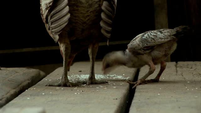Chicken 2 video