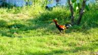 A chicken eating on green grass field, close up shot. video