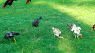A chicken eating on green grass field, close up shot. video