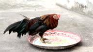 Chicken eating video