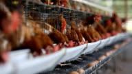 chicken egg in farm video
