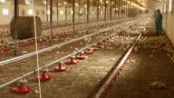 Chicken factory video