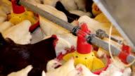 Chicken Farm, Poultry video