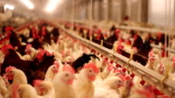 Chicken Farm video