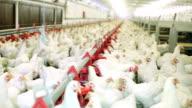 Chicken farm video