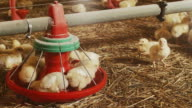 Chicken feeder video