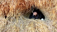Chicken Hatching Eggs in a Nest on a Pile of Straw. video