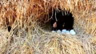Chicken Hatching Eggs in a Nest on a Pile of Straw with Zoom out Technique video