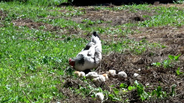 chicken hen with cute little chickens video