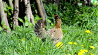chicken in the grass in search of food video