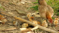 chicken mom with its chicks video