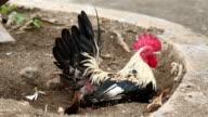 Chicken on the ground video