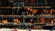 Chicken transport in cramped cage on a pickup truck in bali, Indonesia video