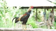 Chicken walking on Wooden,Slow motion video