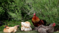 Chickens acting under the bush. video
